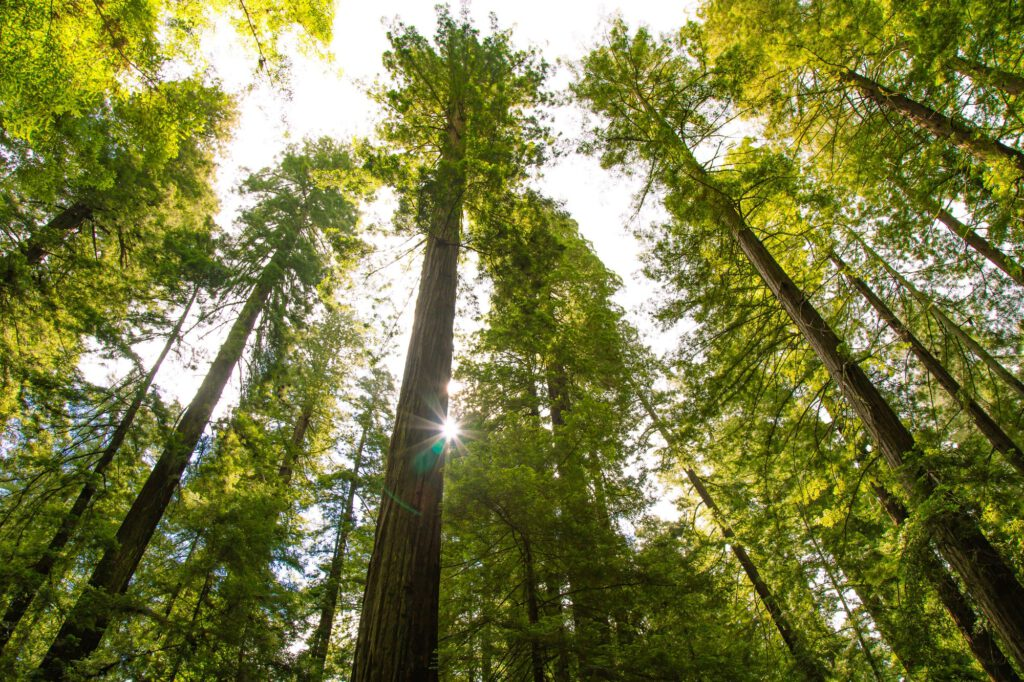 California Redwood Forest against a bright sky and sunshine